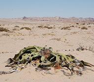 1985824 planta desértica llamada Welwitschia mirabilis