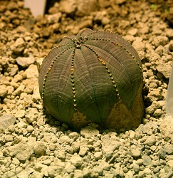 1985828 Euphorbia obesa
