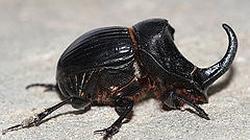 escarabajo--250x140