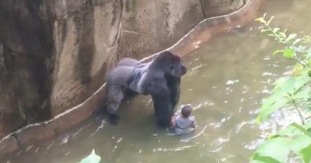 Conoce-la-historia-de-Harambe-el-gorila-sacrificado-en-el-zoológico-de-Cincinnati-6